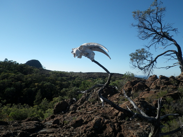 One of many dead goats on the lava Terrace
