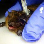 Cadomin Cave bat project (Alberta, Canada)